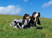 Gascony Blue Basset or Basset Bleu de Gascogne Dog, Mother with Pup standing on Grass