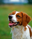 Brittany spaniel Dog, Portrait
