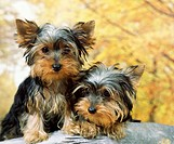 Yorkshire Terrier, Puppies