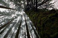 Coniferous trees at Monicknew, Slieve Bloom Mountains, County Laois, Ireland.
