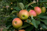 Domestic Apple (Malus domestica), variety: Landsberger Renette, apples on a tree