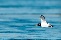 Europe, Oystercatcher, Flight, Haematopus ostralegus, bird, water