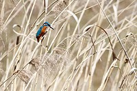 1, Alcedo atthis, kingfisher, fauna, male, nature, preservation, reed, reserve, Switzerland, Europe, bird, Vaud, one, sit,