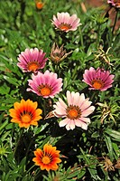 assorted multi-coloured daisies in a garden