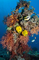 Golden butterflyfish (Chaetodon semilarvatus) pair and Red Sea bannerfish (Heniochus intermedius) with reef scenery. Egytp, Red Sea.