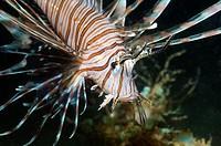 Lionfish (Pterois volitans). Raja Ampat, West Papua, Indonesia.