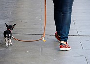 Woman walking her tiny dog on a leash, sidewalk, Geneva, Switzerland