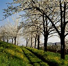 Cherry trees in bloom near Marostica