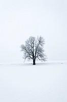 Tilia Tree on a Snow Field. Schönau. Austria.