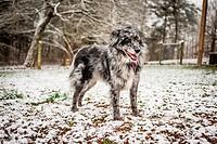 A Blue Merle Australian Shepherd in snow.