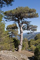 Pinus halepensis or carrasqueño, original pine from South to West Asia Europe can reach fifteen meters high and seven meters in width, Sierra de Cazor...