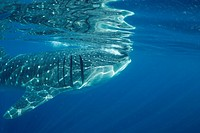 Whale shark, Rhincodon typus. Yucatán Peninsula, Mexico, Carribbean Sea.