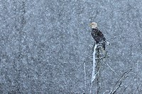 Bald Eagle (Haliaeetus leucocephalus) perched in tree during snowfall along the Skagit River, Rockport, WA (Digital Capture)