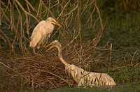 Great Egret (Casmerodius albus) Immatures climbing to safety after their nest collapsed  Gueydan,La  2007  Digital capture