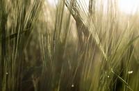 Wheat Field Detail at Sunset near Bad Schallerbach, Upper Austria, Austria.