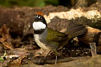 Chestnut-capped Brush-Finch (Buarremon brunneinucha) on ground feeding on seed, Bosque de Paz, Costa Rica
