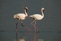 Pair of Lesser Flamingo (Phoenicopterus minor), adults, Lake Nakuru, Kenya