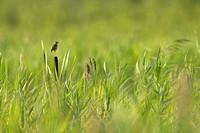 Aquatic Warbler (Acrocephalus paludicola) Biebrza National Park, Poland