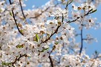 Blossoming Cherry (Prunus avium), Ukraine, Eastern Europe.