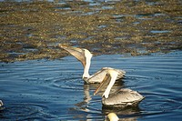 Brown Pelican (Pelecanus occidentalis) Southern Florida