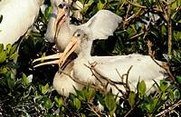 Wood Stork Nestlings (Mycteria americana), endangered, FL
