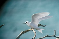 White Tern Adult  (Gygis alba rothschlidi) Northwest Hawaiian Islands