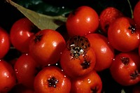 Ladybug Family Coccinellidae on Pyracantha Berries