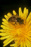 Honey Bee on Dandelion (Apis mellifera) Ithaca, NY