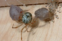 Common House Spider (Achaearanea tepidariorum) (C.L. Koch) with eggs and young in kitchen cabinet