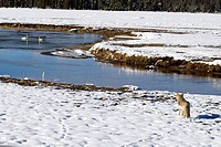 Coyote (Canis latrans), watching trumpeter swans in winter snow Yellowstone National Park Wyoming