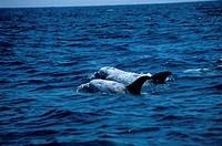 Rissos Dolphin, CA