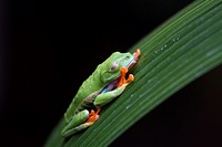 Red-Eyed Tree Frog, Agalychnis callidryas, Costa Rica.