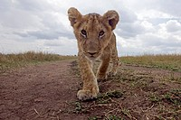 Approaching African Lion cub (Panthera leo) Maasai Mara National Reserve, Kenya. Sep 2008.