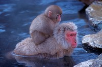 Snow Monkey w. baby in Hot Spring (Macaca fuscata) Hell Valley, Nagano, Japan