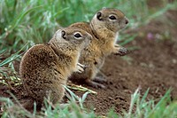 Belding's Ground Squirrel (Spermophilus beldingi) CA