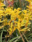 Kanga Yellow Anigozanthos, Kangaroo Paw