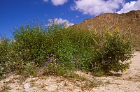 Pygmy Cedar aka Spruce Bush (Peucephyllum schottii) & Canterbury Bells in Desert Wash, Joshua Tree NP, CA, California