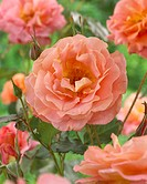 Rosa Metanoia