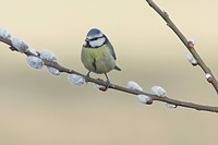 Blue Tit (Parus caeruleus) adult, perched on Goat Willow (Salix caprea) twig with catkins, West Yorkshire, England, April