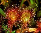 Round-Leafed Sundew (Drosera rotundifolia) England