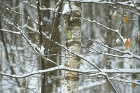 Birches in winter The Kancamagus Highway New Hampshire