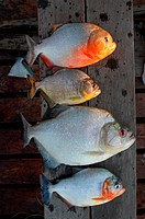 Piranhas,4 species of Serrasalmus, caught by fisherman, Yacuma, Beni, Bolivia 6-1-05