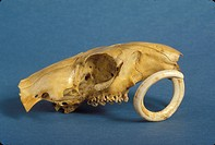 Woodchuck Skull (Marmota monax), teeth continue to grow & must be worn down by chewing