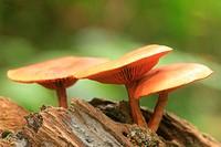 Hygrocybe mushroom fungi, San Eusebio Cloud Forest, Merida, Venezuela