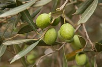 Green olives on the branch