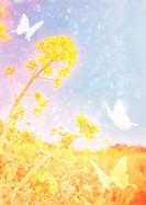 Field mustard and butterflies