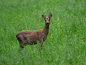 Roe Deer (Capreolus capreolus) on a meadow