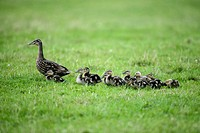 Mallard and ducklings. Female mallard (Anas platyrhynchos) on grassland with her young. The mallard, or wild duck, is a dabbling duck that breeds thro...