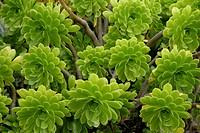 Plant on the island of Majorca. - Majorca, Spain, 14/12/2006