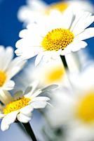 Close-up of daisy against blue sky.